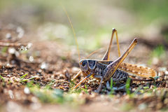 Gray grasshoper macro Royalty Free Stock Images
