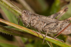 Gray grasshoper macro. Sitting on grass. Ready for jump Royalty Free Stock Photos