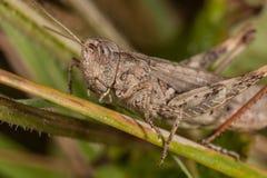 Gray grasshoper macro Royalty Free Stock Photos