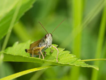 Gray grasshopper among a green grass Royalty Free Stock Photography