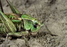 Gray grasshopper sit in the sand track stock photography