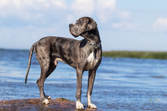 Gray great dane Royalty Free Stock Photo