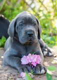 Gray Great Dane dog puppy sniffs a flower outdoor. Beautiful Gray Great Dane dog puppy sniffs a flower outside on walk Stock Photography