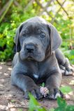 Gray Great Dane dog puppy sniffs a flower outdoor. Beautiful Gray Great Dane dog puppy sniffs a flower outside on walk Stock Images