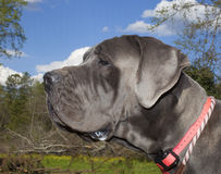 Gray Great Dane Stock Photo