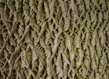 Gray with green bark texture Royalty Free Stock Photos