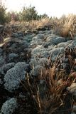Gray green lichen and moss dry grass on the ground, lighted by the dawn of the sun Royalty Free Stock Photo