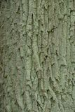 Gray green texture from the dried bark of a large old oak tree Royalty Free Stock Images