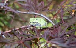 A Gray  green  tree frog in a Japanese maple tree Royalty Free Stock Images