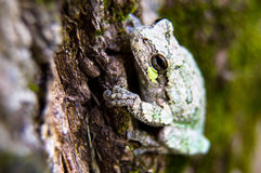 Gray and Green Tree Frog Just Hanging Out. A single Gray and Green Tree Frog holding onto a tree with its very sticky round padded toes stock image