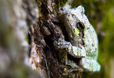 Gray and Green Tree Frog Just Hanging Out. A single Gray and Green Tree Frog holding onto a a tree with its very sticky round padded toes royalty free stock photography