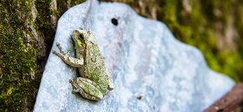 Gray and Green Tree Frog Just Hanging Out. A single Gray and Green Tree Frog holding onto a piece of sheet steel leaning against a tree with its very sticky stock photos