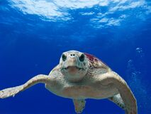 Gray and Green Turtle Swimming on Water Royalty Free Stock Photos