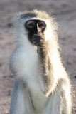 Gray green vervet monkey. Cercopithecus aethiops savannah bush Masai mara Kenya Stock Images