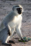 Gray green vervet monkey Royalty Free Stock Photo