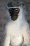 Gray green vervet monkey Royalty Free Stock Photography