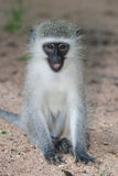 Gray green vervet monkey Royalty Free Stock Images