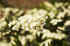 Gray Grefsheim, Spiraea cinerea Zabel. Blossoming Spirey, Spirea Royalty Free Stock Photography