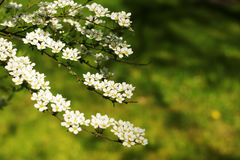 Gray Grefsheim, Spiraea cinerea Zabel. Blossoming Spirey, Spirea Stock Photography