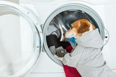 Gray grey hoodie sweater dog back closeup put clothes to washing machine. Funny smart pet Laundry and dry cleaning service. On the back you can place your royalty free stock photos