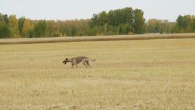 Gray Greyhound corre a través del campo metrajes