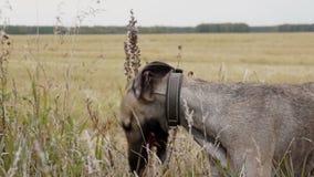 Gray Greyhound se coloca en la hierba alta metrajes