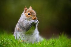 Gray squirrel eating Stock Photography