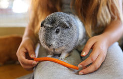 Gray Guinea pig. Guinea pig close up getting fed royalty free stock image