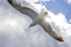 Gray gull in the background of white clouds closeup stock photos