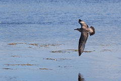 Gray Gull Black Tipped Wings Tail Royalty Free Stock Photography