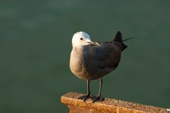 Gray Gull perched Stock Photo