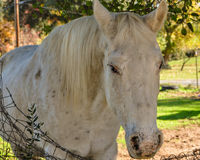 Old Gray Mare Royalty Free Stock Photos