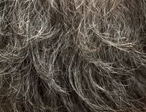 Gray hair Royalty Free Stock Image