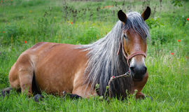 Gray hair horse Stock Image
