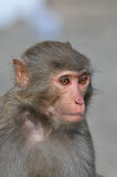 Gray hair monkey Close up. The close up of gray hair monkey Royalty Free Stock Images