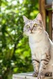 Gray british cat sitting on green garden blurred background Stock Photo