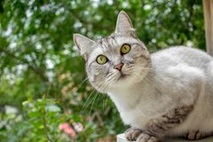 Gray british haircut cat in the green garden Stock Images