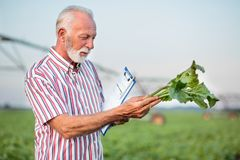 Happy senior agronomist or farmer examining young sugar beet plant in field royalty free stock image