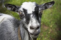 Goat standing on green lawn. Gray-haired female goat standing on green meadow in summer day in Vladimir region, Russia Stock Photo