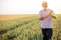 Gray haired senior agronomist or farmer measuring wheat beads before the harvest stock photos