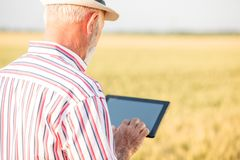 Gray haired agronomist or farmer using a tablet in wheat field stock photography