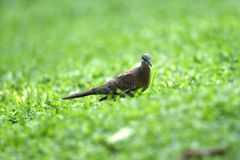 Gray-haired turtle bird on the back and wings, with a little black hue on his shoulder royalty free stock photos