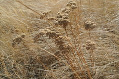 Gray-haired yarrow in the Chiliktinsky steppe Royalty Free Stock Images
