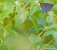 Gray Hairstreak Royalty Free Stock Image