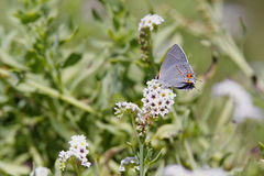 Gray Hairstreak Butterflly Stock Photography