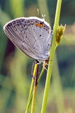 Gray Hairstreak Butterfly Royalty Free Stock Photos
