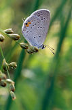 Gray Hairstreak Butterfly Stock Photography
