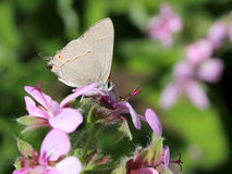 Gray Hairstreak Butterfly Stockfotos