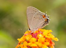 Gray Hairstreak butterfly on a bright red and yellow Lantana flower Royalty Free Stock Photo