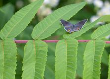 Gray Hairstreak Butterfly en Sumac Fotos de archivo